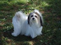 Beautiful CKC registered Imperial Shih tzu puppies.