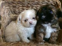 All female shih tzu cross puppies. Cute and fluffy! Are