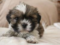 Animal Type: Dogs this two lovely Shih Tzu puppies love