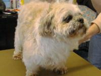 Shih Tzu - Darcy - Small - Adult - Male - Dog Happy,