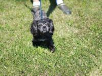 Shih Tzu - Dolly - Small - Young - Female - Dog DOLLY