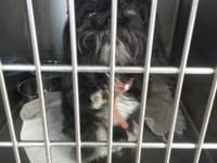 Shih Tzu - Domino - Small - Senior - Female - Dog