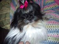 Shih Tzu Female. Gold/Black brindle. Snickers is 4
