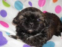 Gracie is a female Shih Tzu that is with black with