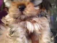 We have two beautiful purebred shih tzu puppies for