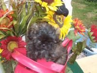 THIS BRINDLE FEMALE PUPPY IS HAPPY ,HEALTHY AND VERY