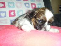 Adorable, multicolored Shih Tzu. Hypoallergenic,