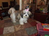 SHIH TZU FEMALE BEAUTIFUL COLORING .....Registered with