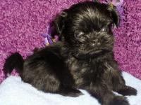 Daisy is a rare dark chocolate Chinese Shih Tzu She is