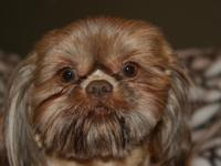 Attractive liver male shih tzu stud for sale. He is