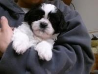 adorable and sweet female shih tzu young puppy for