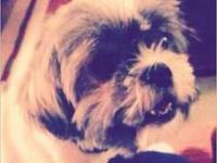Shih Tzu - Fosters Needed - Small - Young - Female -