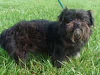Shih Tzu - Frito - Small - Adult - Male - Dog Frito is