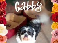Shih Tzu - Gabby - Small - Adult - Female - Dog Hi. My