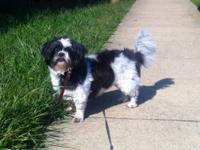Shih Tzu - Gizmo - Small - Adult - Male - Dog Gizmo is