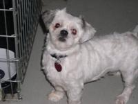Shih Tzu - Gracie - Small - Adult - Female - Dog I am