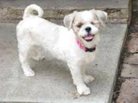 Shih Tzu - Gracie - Small - Young - Female - Dog Gracie