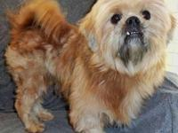 Shih Tzu - Hank - Small - Adult - Male - Dog My name is
