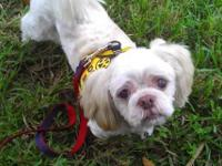 Shih Tzu - Jack - Small - Adult - Male - Dog This is an