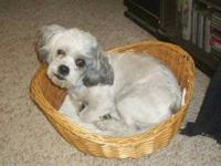 Shih Tzu - James - Small - Adult - Male - Dog James is