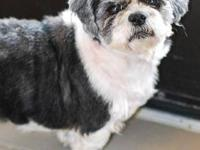 Shih Tzu - Jet - Small - Adult - Male - Dog Could this