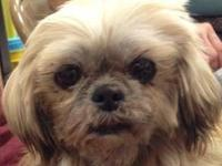 Shih Tzu - Jolee - Small - Adult - Female - Dog Please