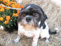 Shih Tzu - Junior - Small - Adult - Male - Dog Junior