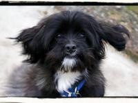 Shih Tzu - Juno - Small - Adult - Male - Dog Hello! My