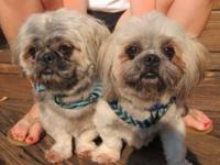 Shih Tzu - Kodi And Grizzy, Twin Brothers! - Small -