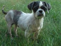 Shih Tzu - Lenny - Small - Adult - Male - Dog Hi there