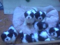 We are selling our Shih Tzu/Lhasa Apso puppies. They