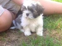 Shih Tzuchihuahua Mix Puppy For Sale In Springfield Oregon