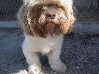 Shih Tzu - Linus - Small - Adult - Male - Dog Linus is