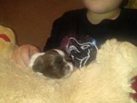 New Litter of liver and white Shih Tzu puppies will be