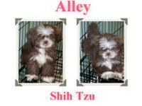 Shih Tzu - Lucy - Small - Adult - Female - Dog Lucy is
