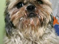 Shih Tzu - Lulu - Small - Adult - Female - Dog Lulu is