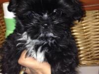 akc register Shih Tzu male 9 weeks old first shots very