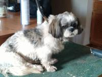 I have a male shih tzu  9 months old (D.O.B