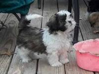 I have a 2 year old shih Tzu male that needs a new