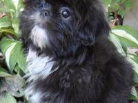 I have a little black male Shih Tzu looking for his for