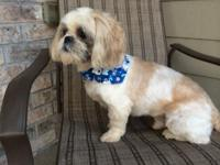 3 years of age Shih-tzu male. Gold and white color. He