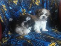 One of this male will be available purebred shih Tzu