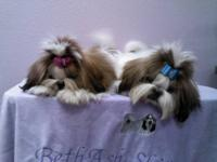 We have gorgeous AKC Registered Shih Tzu puppies for