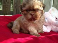 ONLY 1 LEFT!! READY SOON !! AKC Shih Tzu puppies. 5