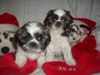 2 red and white male Shih Tzu puppies all set for