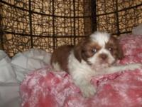 We have 4 purebred male Shih Tzu puppies all 8 weeks