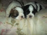 We have 2 male Shih Tzu puppies that will be ready to