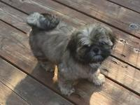 Adorable AKC Male Shih tzu Pup- DOB- May 14, 2015 Gold