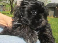 I have one black male shih tzu puppy available for a