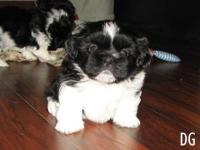 Beautiful 8 week old male Shih Tzu puppy. Monochrome,